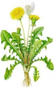 Prvkov a je prospešná pre trávenie. skrmujeme listy a kvety